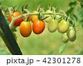 ミニトマト トマト 野菜の写真 42301278