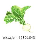 かぶ 水彩画 野菜のイラスト 42301643