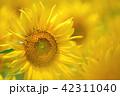 向日葵 ひまわり 花の写真 42311040