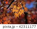 紅葉 秋 葉の写真 42311177