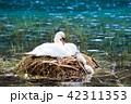 スワン ハクチョウ 白鳥の写真 42311353