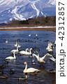 白鳥 鳥 渡り鳥の写真 42312857