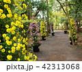 菊の鉢植えが並べられた歩道 42313068