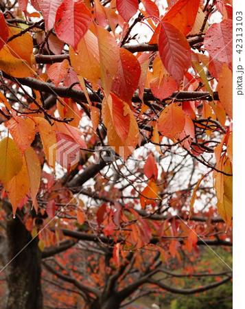 紅葉した桜の葉に滴る雨滴 42313103
