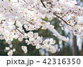 桜 さくら 42316350