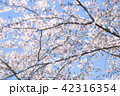 桜 さくら 42316354