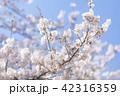 桜 さくら 42316359