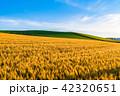 麦畑 空 畑の写真 42320651