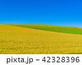 美瑛町 美瑛の丘 畑の写真 42328396