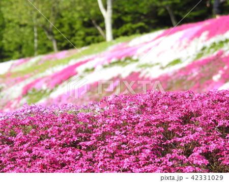倶知安町の芝桜 42331029
