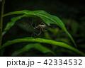 くも クモ スパイダーの写真 42334532
