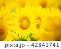 向日葵 夏 花の写真 42341741
