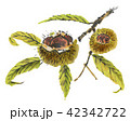 栗 秋の味覚 木の実のイラスト 42342722