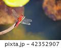 水際のアカトンボ1 42352907