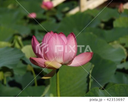千葉公園のオオガハスの桃色の花 42353697