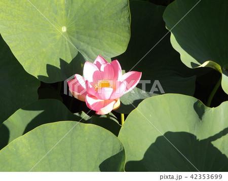 千葉公園のオオガハスの桃色の花 42353699