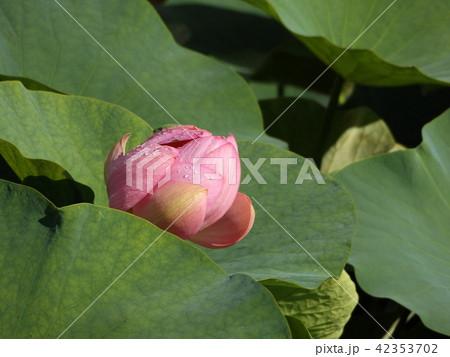 千葉公園のオオガハスの桃色の花 42353702