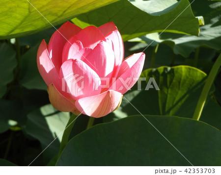千葉公園のオオガハスの桃色の花 42353703