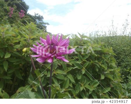 セミカクタスダリアの桃色の花 42354917