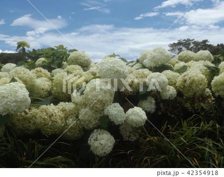 ハイドランジアアナベルというアジサイの白い花 42354918