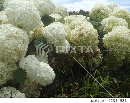 ハイドランジアアナベルというアジサイの白い花 42354921