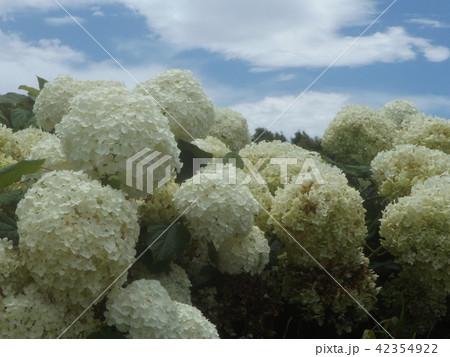 ハイドランジアアナベルというアジサイの白い花と青い空 42354922