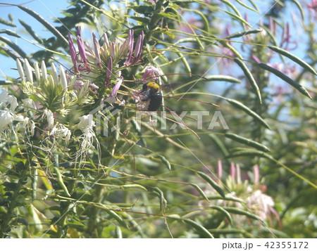 酔蝶花と呼ばれるクレオメの白と桃色の花 42355172