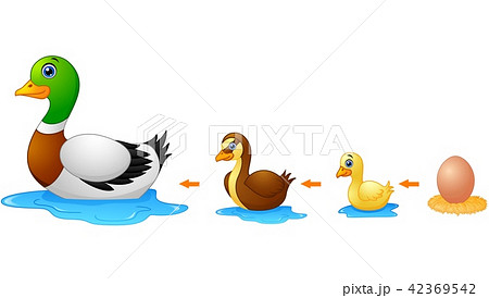 Life cycle of a duck 42369542