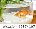 金魚鉢の金魚・一匹・夏イメージ 42374107