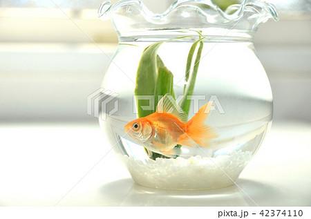 金魚鉢の金魚・一匹・夏イメージ 42374110
