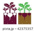 beetroot plant 42375357