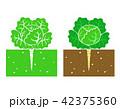 cabbage plant 42375360