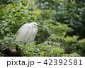 白鷺 鷺 鳥の写真 42392581