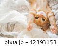 仔猫 猫 子猫の写真 42393153