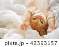 仔猫 猫 子猫の写真 42393157