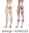 筋肉 人体 解剖のイラスト 42402123