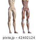 筋肉 人体 解剖のイラスト 42402124