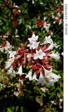 歩道で良く見るアベリアの白い花 42405603