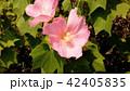 夏の花アメリカフヨウの桃色の花 42405835