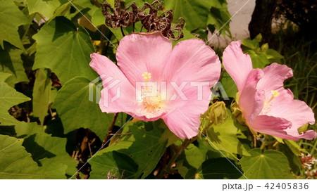 夏の花アメリカフヨウの桃色の花 42405836