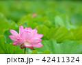 蓮 花 植物の写真 42411324