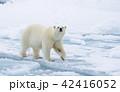 くま クマ 熊の写真 42416052