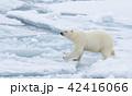 くま クマ 熊の写真 42416066