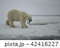 くま クマ 熊の写真 42416227
