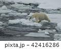 くま クマ 熊の写真 42416286