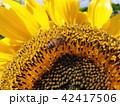 ヒマワリ はち ミツバチの写真 42417506
