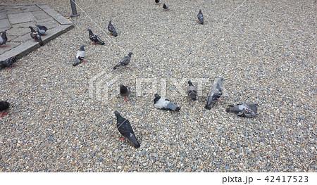 鳩の群れ A group of pigeons 42417523