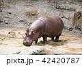 草食動物 カバ 一頭の写真 42420787
