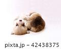 コーギー 子犬 42438375