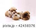 コーギー 子犬 42438376